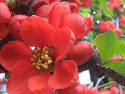 2012.4.9分 日常 木瓜の花 4