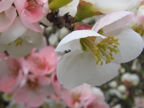 2012.4.9分 日常 木瓜の花 1