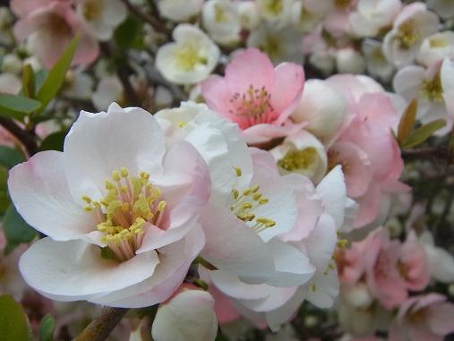 2012.4.9分 日常 木瓜の花 2