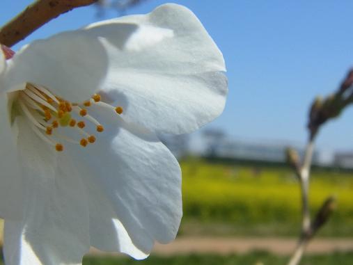 2012.4.12分 日曜日お花見日和 ①午前の部 裏21