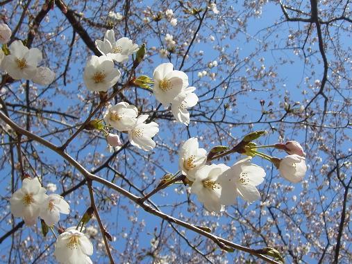 2012.4.12分 日曜日お花見日和 ①午前の部 裏18
