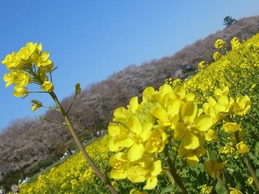 2012.4.12分 日曜日お花見日和 ①午前の部 裏14