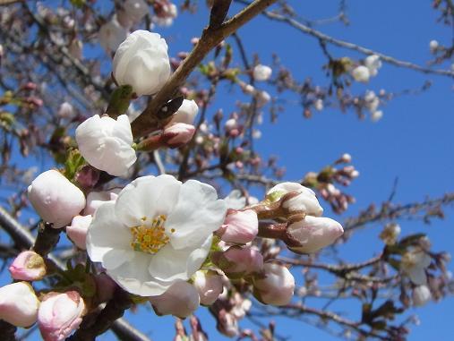 2012.4.12分 日曜日お花見日和 ①午前の部 裏16