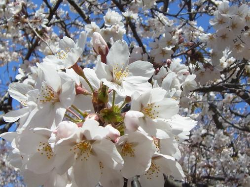 2012.4.12分 日曜日お花見日和 ①午前の部 8