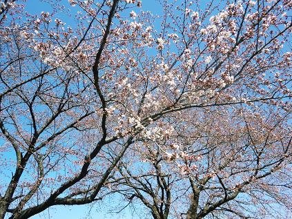 hanami_CIMG1292.jpg