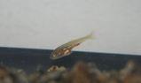 赤ちゃん金魚2008年4月