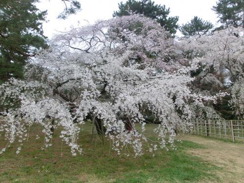 桜2041011