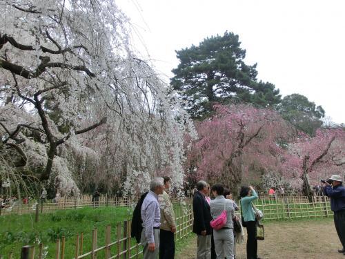 桜2041010