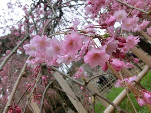 桜204109