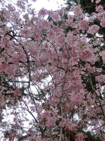 桜204108