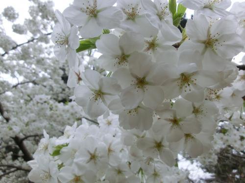 桜204106