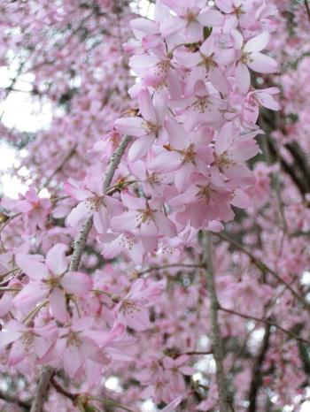 桜204107