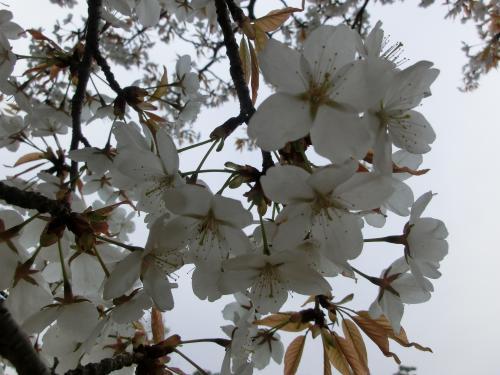 桜204105