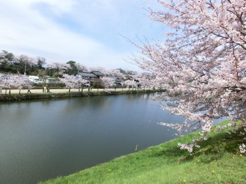 彦根桜2042310