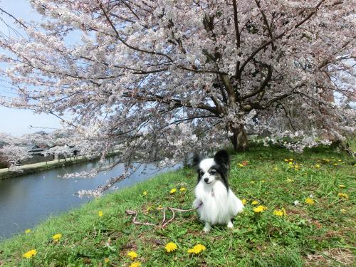 彦根桜204239