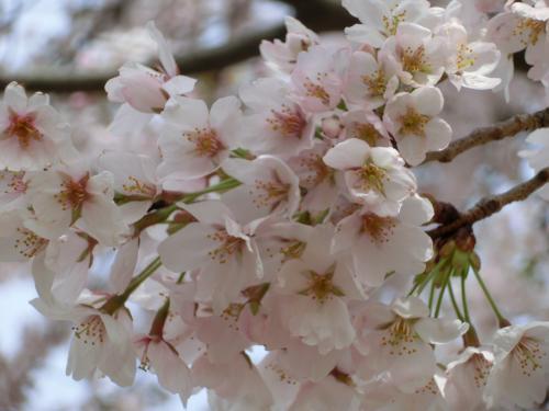 彦根桜204236