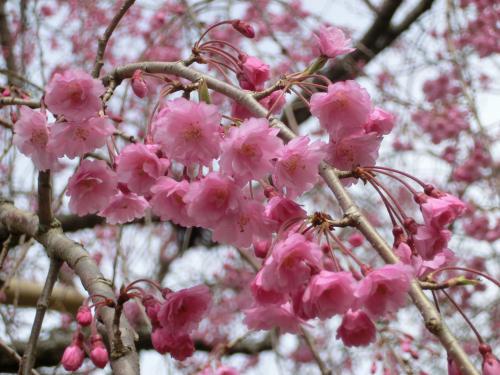彦根桜204235