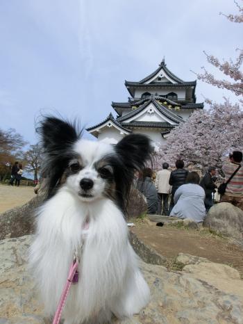 彦根桜204237