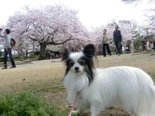 彦根桜204234