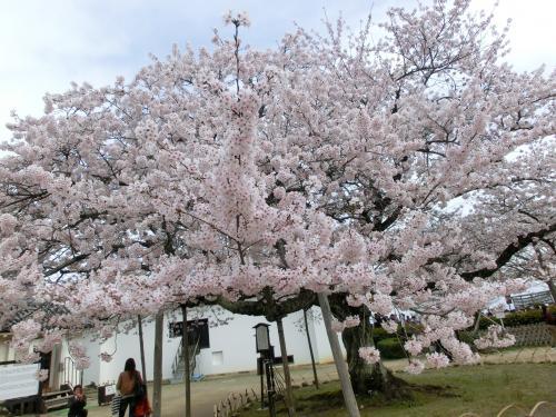 彦根桜204232