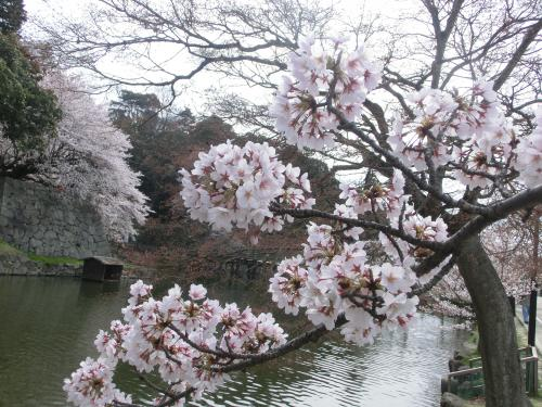 彦根桜204231