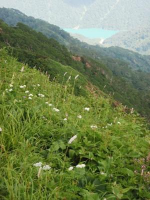 20110715イブキトラノオと白水湖