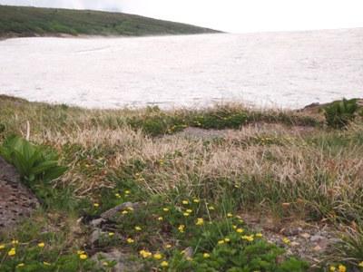 20110715ミヤマキンバイと雪渓