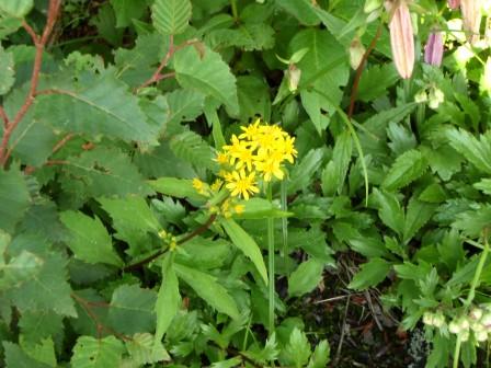 20110808-06花黄色