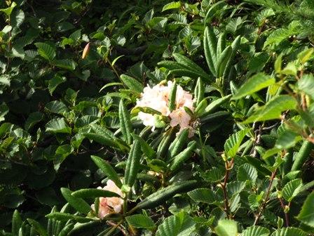 20110808-07花シャクナゲ