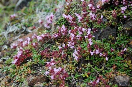 20110811-8登山道の花ピンク