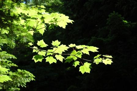 20110812-9緑の葉