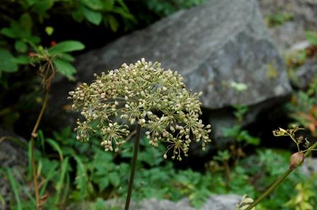20110923_09駒峰へ2白い花の種
