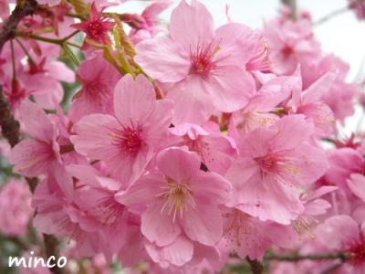 横浜緋桜3