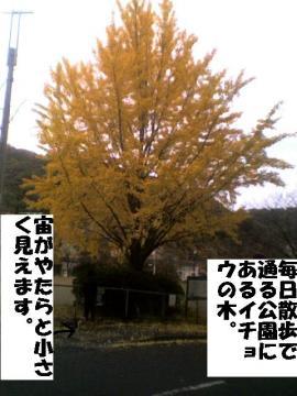 ichounoki.jpg