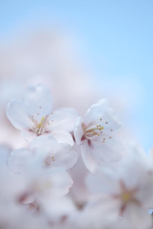 般若寺のしだれ桜