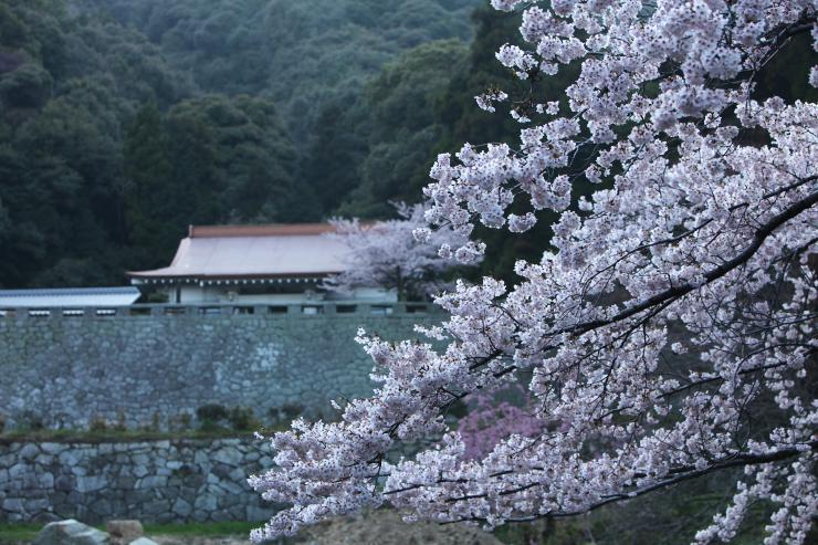 周防大島のしだれ桜