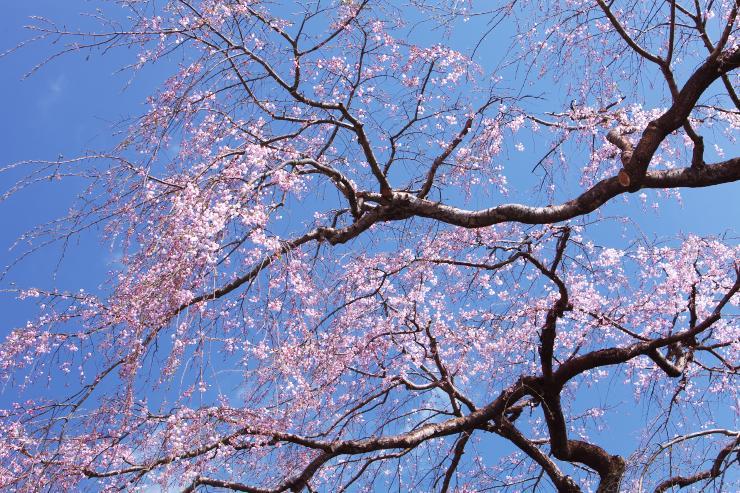 鹿野のしだれ桜