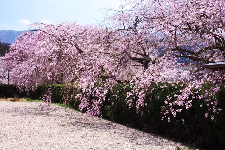 徳佐八幡宮のしだれ桜