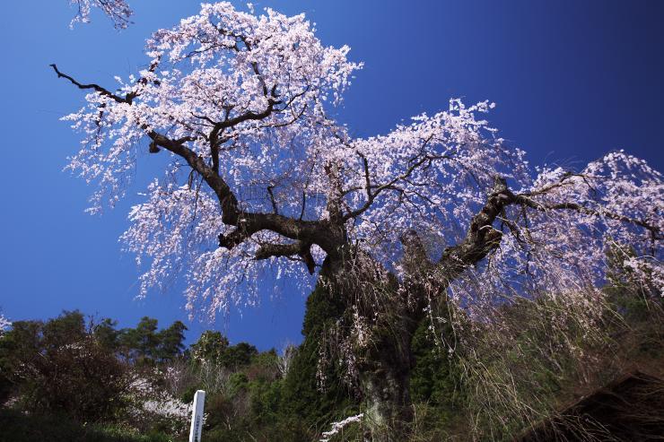 みろく公園のしだれ桜