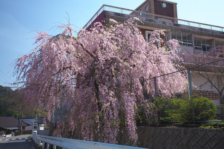 六日市のしだれ桜