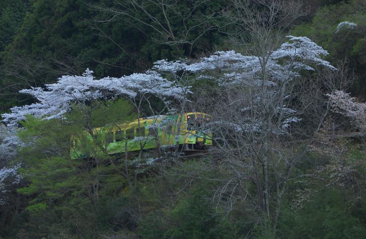 清流線と桜