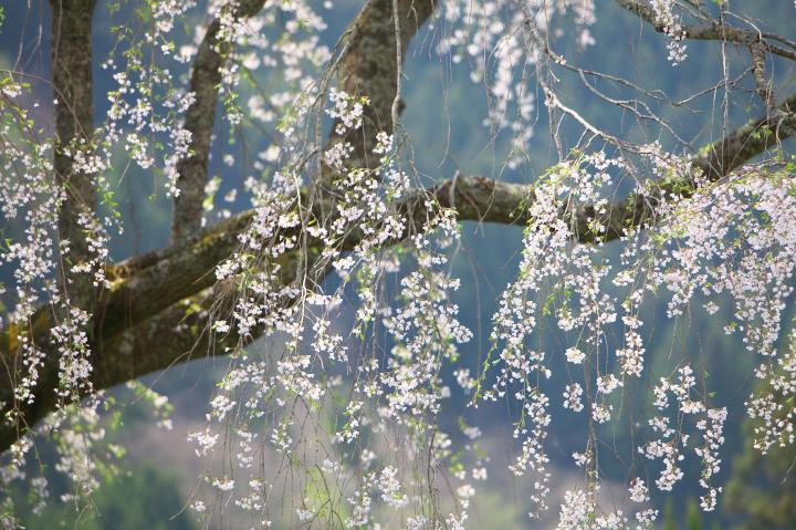 湯来町のしだれ桜