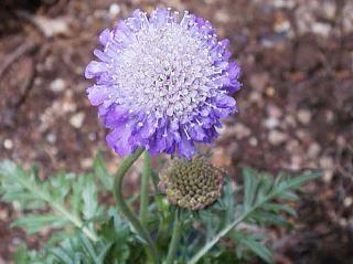 スカビオサの花