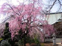 圓蔵院のシダレザクラ写真