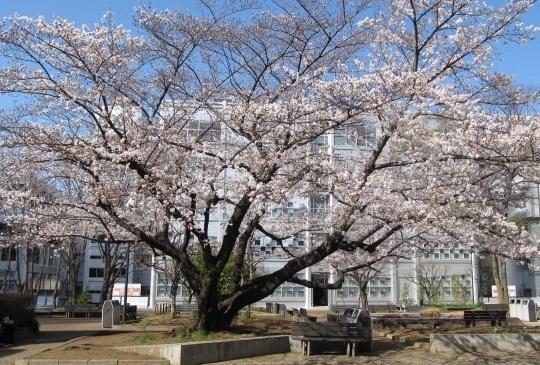 2013年3月21日_桜