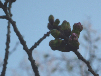 3月21日桜