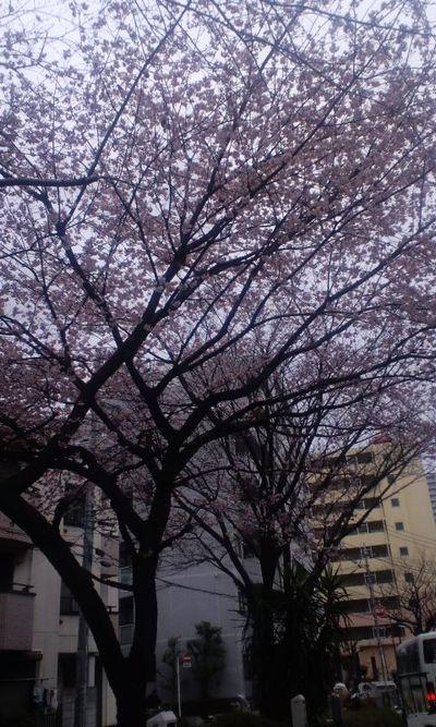 100315_早咲きの桜(千川)1