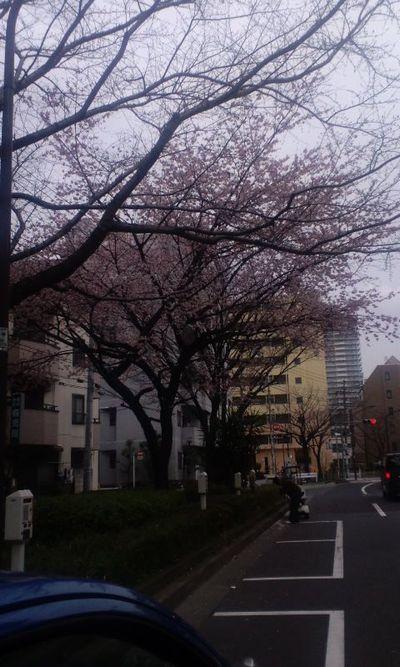 100315_早咲きの桜(千川)3