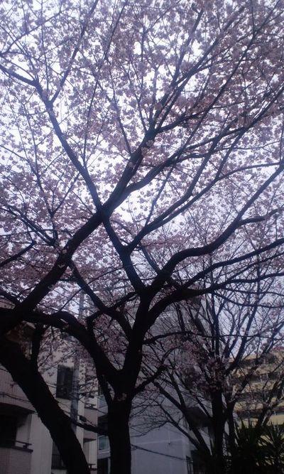 100315_早咲きの桜(千川)2