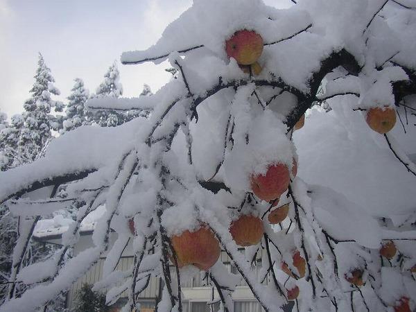 山形林檎雪